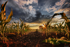 Baby sweetcorn (Stevacek) Tags: sunset sky clouds d50 landscape evening countryside corn nikon wideangle czechrepublic hdr sweetcorn ceskarepublika sigma1020mm 10mm zapadslunce stevacek kukuice