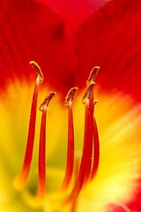 the heart of a fiery lily (SCSheola) Tags: macro closeup lily c flowerotica awesomeblossoms scsheola thegalleryoffinephotography sheola allphotoscopyrightedcbyscsheolapleasecontacttousewithpermission