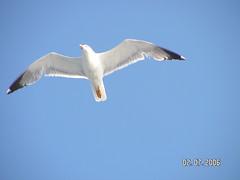 gabbiano in volo a Capraia6 (bernardo_daleppo) Tags: capraia larusmichahellis laruscachinnansmichahellis gabbianorealezampegialle