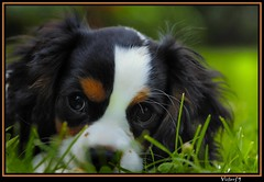 Lilly ...............EXPLORE....#44 (sirVictor59) Tags: world italy dog chien cute green love dogs nature topf25 smile animals cane by eyes topf50 nikon europe flickr italia shot photos nikond70 peach inspired perro explore occhi hund chapeau about through awards topf100 soe viterbo animali natures guas lazio bestinshow ronciglione divinas cavalierkingcharlesspaniels golddragon abigfave platinumphoto anawesomeshot aplusphoto visiongroup agigfave diamondclassphotographer flickrdiamond onlythebestare overtheexcellence excapture theperfectphotographer goldstaraward rubyphotographer sirvictor59 oraclex eyesbest