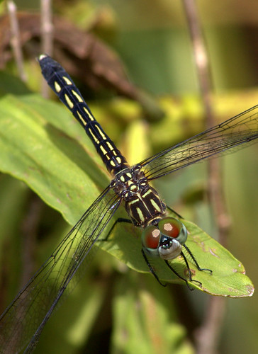 (?) Monkey-faced Dragonfly