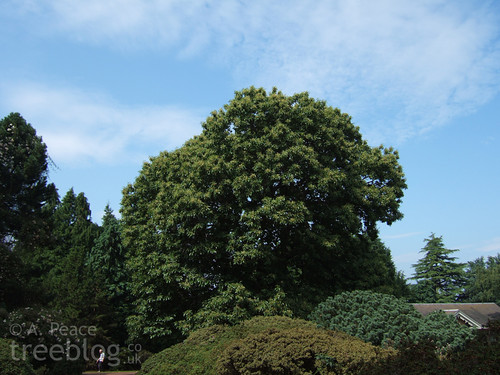 large sweet chestnut tree