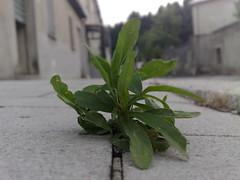 Rucola selvatica (devil78) Tags: nokia natura erba pianta n95 polliceverde nardodipace