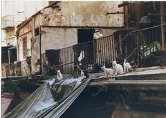Gatti palermitani (ho visto nina volare) Tags: 2005 italien italy cats cat chats chat italia palermo gatto gatti italie sicilia mattoni cc200 cccats