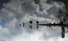 Mobile phone (cell) photo 001 (kjlast) Tags: england lake reflection water birds mobile kent phone ericsson sony cell waterfowl k800i leybourne snodland supershot golddragon theyaremine platinumphoto anawesomeshot theunforgettablepictures pleasedontusethisimageonwebsites blogsorothermediawithoutmyexplicitpermissionthesephotosarentfree pleaserespectthatallrightsreserved