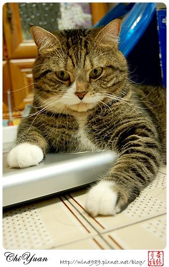 【貓季】貓老大‧DINO