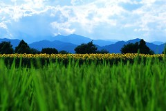 The Song of Nature (*Sakura*) Tags: trip summer vacation mountain flower green japan landscape interestingness bluesky explore sunflower sakura  paddyfield