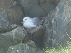 Fulmar Close Up (Queenbie) Tags: birds fulmar shetland lerwick sletts
