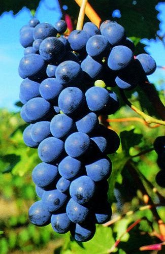 Tenuta il Bosco - Pinot Nero
