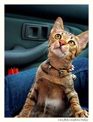 His Expectation (Araleya) Tags: leica pet love animal cat fz20 friend kitten buddy panasonic together inthecar lovely companion gaze expecting expectation sanshiro araleya abigfave leicadigital theperfectphotographer sweettimetraveltravel