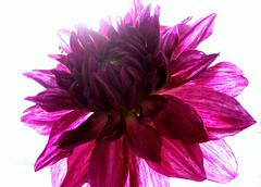 Purple Dahlia bathing in sunlight (sanjibm) Tags: dahlia light india flower garden day purple outdoor bangalore bloom radiant