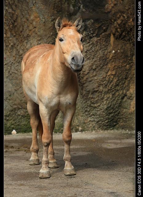 蒙古野馬04