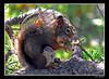 Fresh Pine Cone  Mmmmm.... (Bonell Photography (dasbull)) Tags: brown tree pine fur lumix montana sitting eating branches tail nuts panasonic eat yellowstone wyoming fz50 dasbull ronbonell