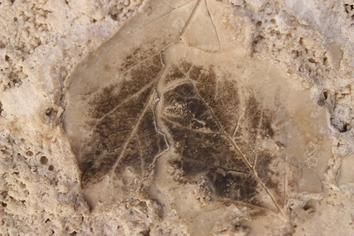 Travertine Fossil - Getty