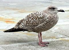 Aberdeen Baby (alphazeta) Tags: pink baby brown white bird grey scotland seagull gull feathers best aberdeen flickrsbest platinumphoto theperfectphotographer youngseagull amazeandbeamazed aberdeendocks thebestgallery