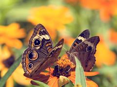 butterfly sony a300 joelolives joelolivesdofbokeh