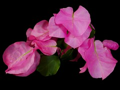 Bougainvillea in Pink. (cassowary) Tags: nikon coolpix onblack s550 colorphotoaward goldstaraward excellentsflowers natureselegantshots wonderfulworldofflowers theworldinpink theperfectpinkdiamond