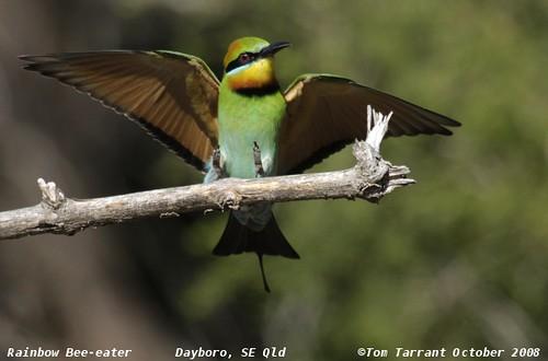 Rainbow Bee-eater (Merops ornatus) by aviceda.