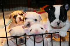 Let us out!! (bullmarketfrogs) Tags: rumble puppies penelope heart pixie jelly thor tula frenchbulldogs