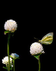 Papallona / Mariposa / Butterfly (Navard) Tags: butterfly catalonia girona catalunya mariposa botanicalgarden costabrava cataluña gerona blanes jardínbotánico papallona jardíbotànic nikond40 marimurtra navard
