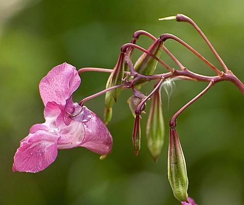 Himalayan Balsam (Impatiens glandulifera) by Eco Heathen on Flickr (cc) licence