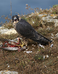Peregrine and Prey