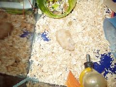 P1010001 (Danzel Ha) Tags: hamsters