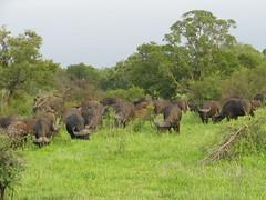 Herd of Buffalo (John D McKenna) Tags: elephant bird southafrica crane lion rhino giraffe wildebeest kruger sodwana barbet kurisamoya