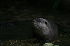 wet otter (Webitect) Tags: asian otter smallclaw