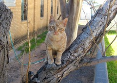 Amber, in dead mimosa tree (Hairlover) Tags: pet cats pets public cat ginger kitten tabby kitty kittens kitties bestofcats hairlover catmoments allcatsnopeople camfnov08 boc0209