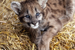 Baby Cougar (Megan Lorenz) Tags: baby animal closeup mammal feline looking watching young puma predator wildcat staring cougar mountainlion carnivore naturelovers floridapanther specanimal junglecatworld naturewatcher elitephotography goldstaraward thebestofday qualitypixels damniwishidtakenthat