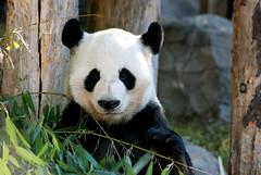 Hey to all Yang Yang's flickr friends! (tammyjq41) Tags: bear panda zooatlanta tjs yangyang tjd d80
