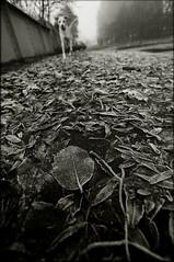 Frosted leaves (Mayastar) Tags: park dog glasgow alexandrapark moretocome butilikeit feelslikewinter thelittledoglaughed frostedleaves itsbloodycold mayastar butitsautumn iwaslookingforwardtohaveafoggydayforaphotoshootingintheparksoimhappy