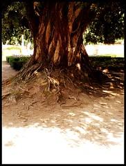 roots (maruan's travel [a bit away.. vEEEry busy]) Tags: autumn shadow tree portugal nature garden natureza roots árvore outono raizes mafra jardimdocerco luzdeoutono ilustrarportugal