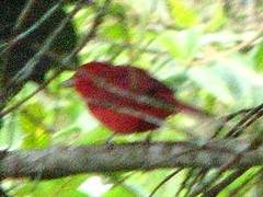 Red bird (Sparky the Neon Cat) Tags: red bird southamerica animal america san colombia south el maco agustin huila finca sanagustin fincaelmaco