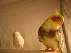 budgie cockatiel (KristaCondron) Tags: bird animal budgie