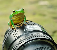 Do't try take my Nikon way from me ! 11-9 (Matthew Fang) Tags: macro cute green nature animal lens fun nikon image picture frog photograph d300     matthewfang