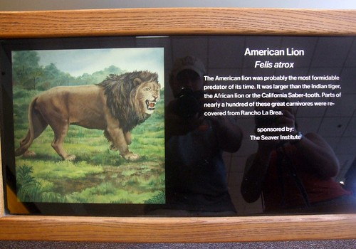 american lion not a lion in Lion vs Tiger Discussion Forum