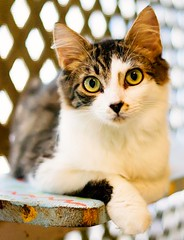 waiting for a home (lucy96734) Tags: loving kitten soft purr shelter joeysfelinefriends