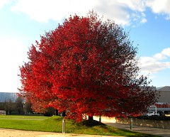The Last Red Tree -2008 (Don3rdSE) Tags: autumn red ny newyork tree fall nature leaves leaf longisland foliage breathtaking anawesomeshot melvilleny theunforgettablepictures platinumheartaward theperfectphotographer canong9 breathtakinggoldaward don3rdse breathtakinghalloffame