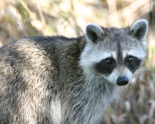 Raccoon 20081204