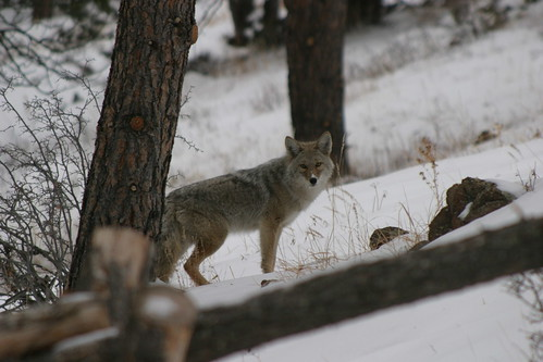 Coyote in the Back Yard