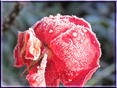 frosty rose December 7th (Guy@Fawkes) Tags: red flower rose petals frost bokehlicious mimaorflowers auniverseofflowers xtremeboquet amazingeyecatcher ufcontest2