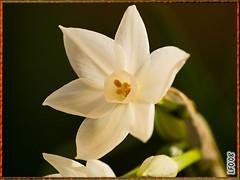 Flor de Navidad. (BAC0) Tags: macro flor narciso potofgold zuiko70300