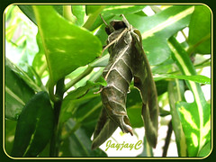 Daphnis nerii (Oleander Hawk-moth), shot a couple of minutes after touching it