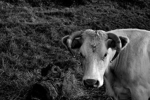 Vaca Charolêsa