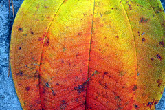 Christmas leaf (xeno(x)) Tags: orange color macro green art nature yellow canon leaf asia 2008 xeno 40d aplusphoto