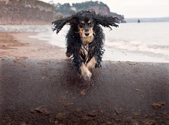 Happiness is... (terryjh) Tags: beach dogs coast cockerspaniel teignmouth ballgames bej fbdg goldstaraward