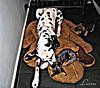 Brincadeira (Luciana44) Tags: friends brazil pet amigos cão animal brasil canon puppy fun interestingness moments momento cachorro cães beleza cachorros moment bichos animais bicho dalmatian hdr picnik momentos interessante imagem brasileira dálmatas dalmata dálmata dalmatas supershot freephotos s5is flickrlovers