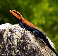 Mr Lizard | Red and Black (Lazybug) Tags: india nature bokeh lizard jungle greenery hyderabad hpc redandblackstripes lazybug lizardbokeh akhiltandulwadikar